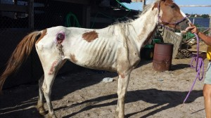 """Susie,"" Paint mare near death when discovered at a Miami Gardens, FL boarding facility."