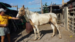 """Justice,"" a Paint gelding left to starve to death, rescued by the South Florida SPCA."