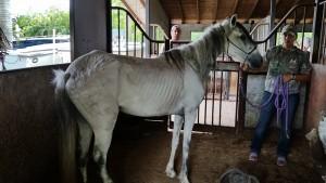 Grey Paso Fino mare seized on May 27, 2015