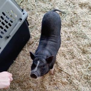 Piggy_intake_06082016