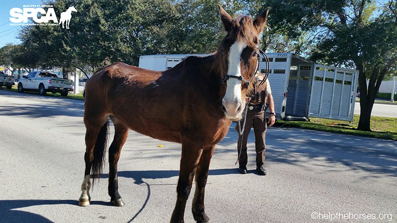 Trigger, a horse ridden from South Carolina to Miami, seized by South Florida SPCA on November 23, 2016.