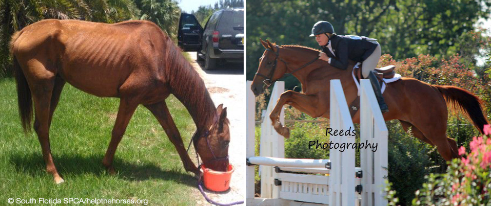 "Prodigioso, ""The Everglades Horse"" when rescued in July, 2012 (left), and showing with Robin Hannah-Carlton in August, 2013 (right, photo ©Reeds Photography)."
