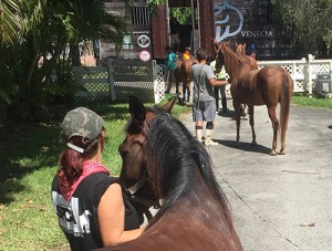 Evacuating first group of horses to safety in Ocala on 9/7/17.