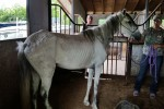 Grey Paso Fino mare seized on May 27, 2015