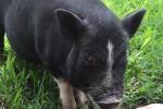 Piggy_IMG_1748_web