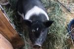 Stella-pig-IMG_0404-web