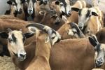 Sheep1_IMG_5616_SFSPCA