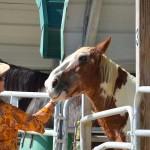 South-Florida-SPCA-Farm-to-Stable-DSC_7706